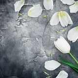 Floral composition made of white tulips and petals on dark background. Flat lay, top view. Floral frame background. Floral composition made of white tulips and Stock Image