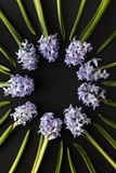 Floral composition - Round frame with Spring Flowers Hyacinths on Dark Contrast background. Top view with copy space. greeting or. Invitation card design royalty free stock image