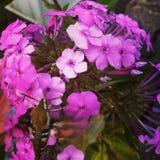 Floral cor-de-rosa fotografia de stock royalty free
