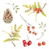 Floral Decorations Set with Cone and Berries. Hand drawn watercolor floral illustrations isolated  on white background. Branches,red  berries, fir cone Royalty Free Stock Image