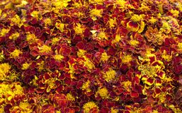 Floral decorative background, carpet of yellow marigold flowers Royalty Free Stock Image