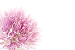Floral design. Closeup of pink allium flower with copyspace, ideal for a floral background or template Stock Photos