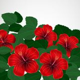 Floral design background. Hibiscus flowers. Vector Royalty Free Stock Images
