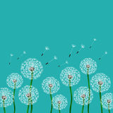 Floral design. Dandelion Royalty Free Stock Images