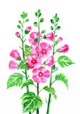 Floral design element with  mallow Stock Photo