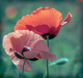 Floral design with poppy Royalty Free Stock Photo