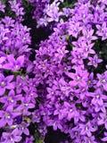 Floral display of purple campanula ambella flowers. In bloom during springtime Royalty Free Stock Image