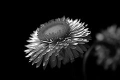 Floral Dreams. Black and white floral portrait of a Beautiful Kata Royalty Free Stock Photography