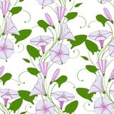 Floral elegant background convolvulus. seamless tender pattern flower bindweed. Morning-glory endless feminine ornament. Vector Stock Photography