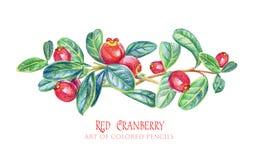 Floral elements, cranberries for design. Stock Images