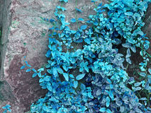 Floral fantasy.Azure ivy on a stone massive taken closeup. Stock Images