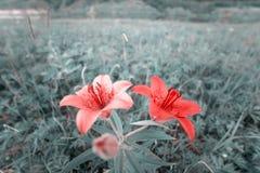 Floral field with Red flowers. Closeup Lilium dahuricum, Lilium pensylvanicum, lily flowers in meadow. Closeup stock images