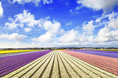 Floral fields in Holland Royalty Free Stock Images