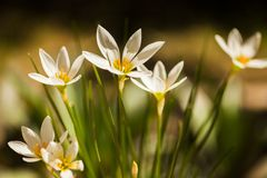 White flower. Floral filament petal petals beauty plant plants scent  white flower lily royalty free stock photo