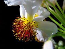 Floral Fireworks. Sparmannia flower Stock Photography
