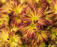 Floral Fireworks II Royalty Free Stock Photo