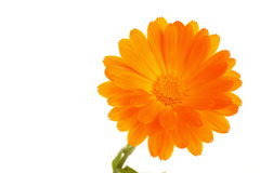 floral flower gerbera isolated macro Stock Image
