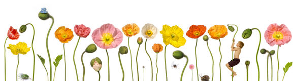 Flower Flowers Child Banner. A row of poppies with a young boy climbing one. Also with a snail, cicada, and fly Royalty Free Stock Images