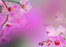 Floral frame - pink orchids. Pink orchids - background for your text Royalty Free Stock Photos
