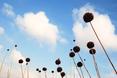 Floral globes. Blossoming balls of a deserted plants Stock Photography
