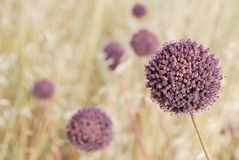 Floral globes. Blossoming balls of a deserted plants Royalty Free Stock Photo