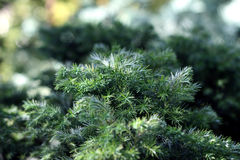 Floral green coniferous background Stock Photos