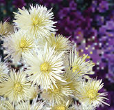 Floral greeting card with white asters Stock Image