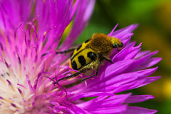 Floral Guest. Portrait of bee beetle on the flower Stock Photos