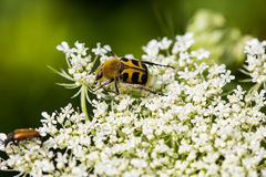 Floral Guest. Portrait of bee beetle on the summer meadow Royalty Free Stock Photography