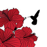 floral hibiscus ανασκόπησης κολίβριο Στοκ εικόνες με δικαίωμα ελεύθερης χρήσης
