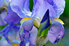 Floral iris flower background Stock Photo