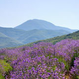 Floral Landscape. A mountainous countryside landscape with a field of lavender flowers in Crimea Stock Image