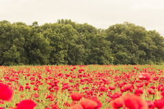 Floral landscape wallpaper with red flowers field Stock Photo