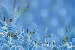Floral light blue background. Lily flowers on a blurred bokeh background. Flower composition. Stock Image