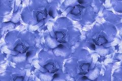 Floral  light blue background from roses.  Flower composition. Flowers with water droplets on petals. Close-up. Stock Images