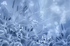 Floral  light blue beautiful background.  Flower composition  of  Blue  flowers Lilies. Stock Photography