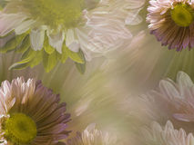 Floral light dreen-white beautiful background of daisy. Wallpapers of flowers  pink-yellow Chamomile. Flower composition. Stock Image