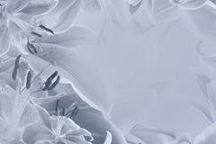 Floral  light gray beautiful background.  Flower composition  of   flowers Lilies. Nature Royalty Free Stock Photos