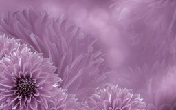 Floral light pink beautiful background of dahlias.  Flower composition. Background of pink dahlias. Nature Royalty Free Stock Photography