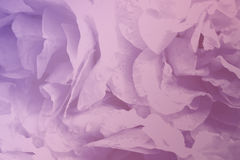 Floral  light pink beautiful background roses.  Flowers petals pink-violet  roses  close-up. Royalty Free Stock Images