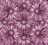 Floral light purple-pearl background. A bouquet of flowers from light purple-pink gerberas. Close-up. stock image