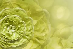 Floral light yellow beautiful background. Flower composition. Greeting card from yellow-green roses on a light yellow backgr. Ound bokeh. Close-up. Nature royalty free stock image