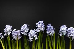 Floral Linear Composition Of Blue Flowers Of Hyacinths. Creative Top View Lay Flat With Copy Space On Dark Background. Greeting Or stock images