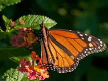 Floral Monarch: Casting Shadows. Image of a Monarch Butterfly, the sun from the right causes shadows to be cast Royalty Free Stock Photography