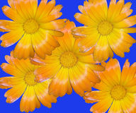 Floral Montage. This is a montage of yellow wildflowers against a blue background stock images