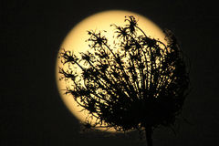 Floral moon eclips Royalty Free Stock Image