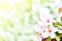 Floral natural background spring time season. Blooming apple tree royalty free stock image