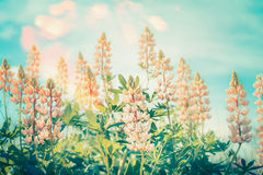Floral nature background with lupines blooming at blue sky with sunny bokeh lighting Royalty Free Stock Photos