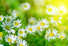 Floral nature daisy abstract background Stock Photos