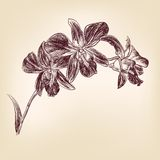 Floral orchid hand drawn vector. Floral orchid vintage hand drawn vector illustration  isolated Royalty Free Stock Photo